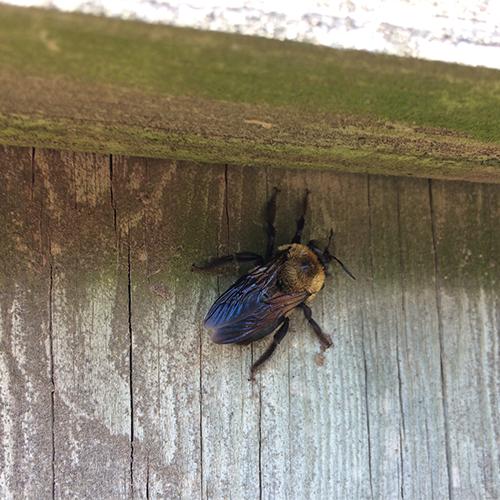 Carpenter bee (Photo: J. Green)