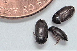 Carpet Beetle Casings Pictures - Page 2 - Interface Carpet