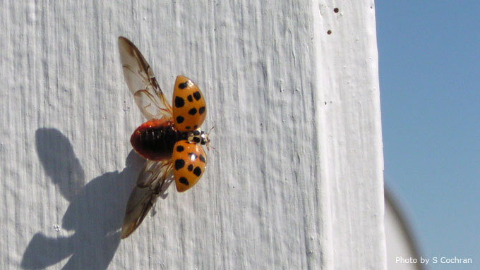 Multicolored Asian Ladybird Beetle (Lady Bug) - common fall invading pest