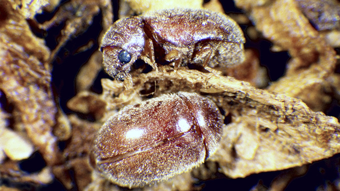 Drugstore and Cigarette Beetles | Nebraska Extension in Lancaster County