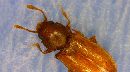 Foreign Grain Beetle a.k.a. New House Bug | Nebraska ...