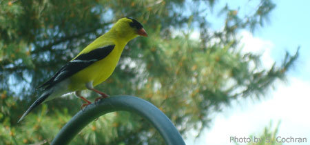 Male Goldfinch in Summer Colors