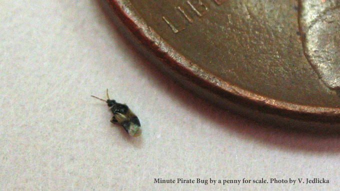 Minute Pirate Bug. Tiny Biting Bugs   Minute Pirate Bugs   Hackberry Lacebugs