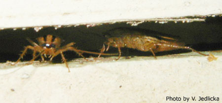 German Roaches in a Crack
