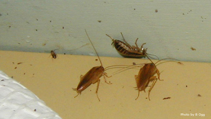 Roaches Unwanted Home Invaders