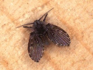 Flies in the home nebraska extension in lancaster county for Tiny moths in bathroom