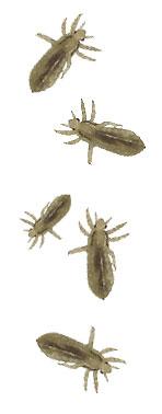Head Lice Questions Answers Faq Nebraska Extension In Lancaster