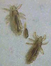Los adultos miden de 1/10 a 1/18 pulgadas de largo