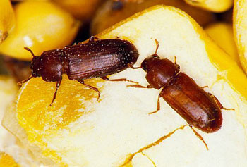 Insects In Your Food Amp Pantry Nebraska Extension In