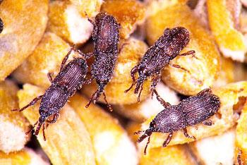 Grainary Weevils