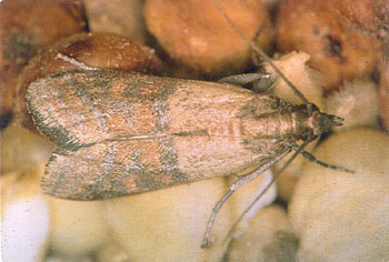 Insects in Your Food & Pantry | Nebraska Extension in ...