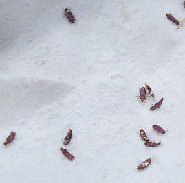 Common Kitchen Bugs http://lancaster.unl.edu/pest/resources/pantrypests304.shtml