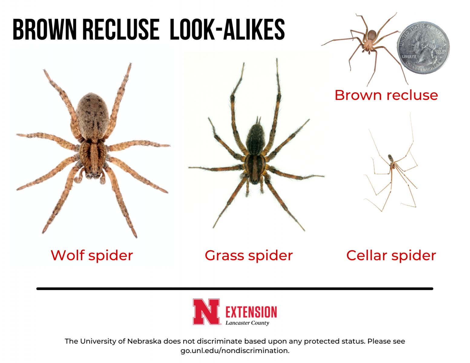 Brown Reculse spider look alikes