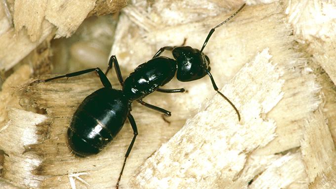 Termites pdf