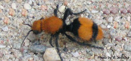 Velvet Ant or Sometimes Called a Cow Killer Ant