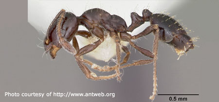 Little Black Ant - Photo courtesy of Antweb.org