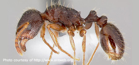 Pavement Ant - Photo courtesy of Antweb.org