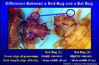 Bed bugs vs bat bugs