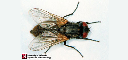 House Fly - UNL Department of Entomology