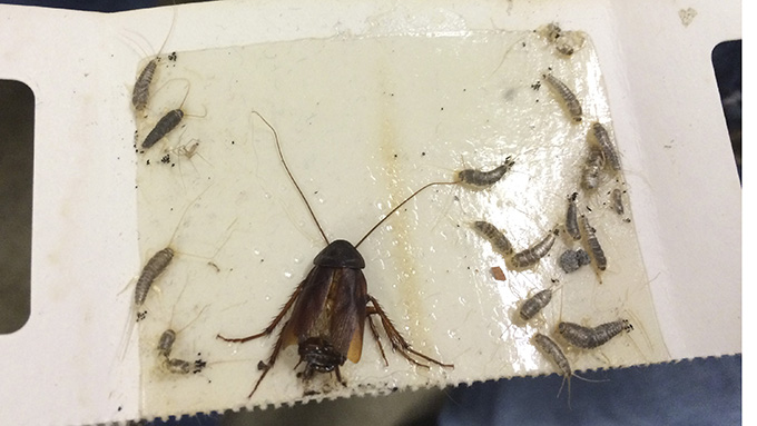 Cockroach and silverfish caught in glueboard trap