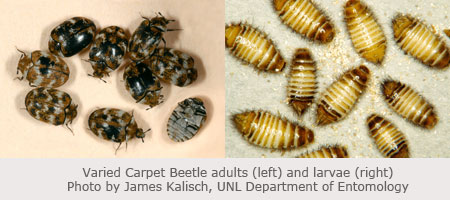 Varied Carpet Beetle adults and larvae - photo by James Kalisch, UNL Department of Entomology