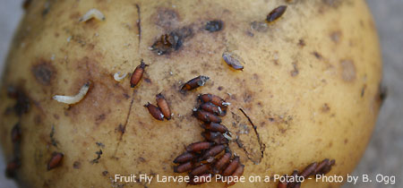 Fruit Fly Maggots (Larvae) Left and Pupae (Center) on a Potato