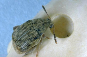 Common Bean Weevil Adult
