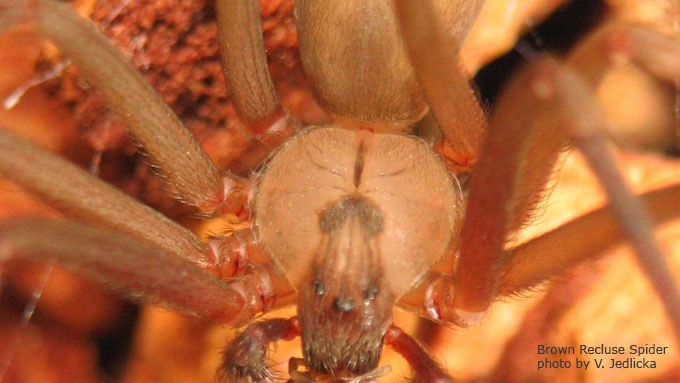 Brown Recluse Spider Close Up - Photo by Vicki Jedlicka