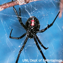 Black Widow Spider - UNL Department of Entomology