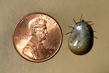 American Dog Tick Engorged by James Kalisch, UNL Entomology