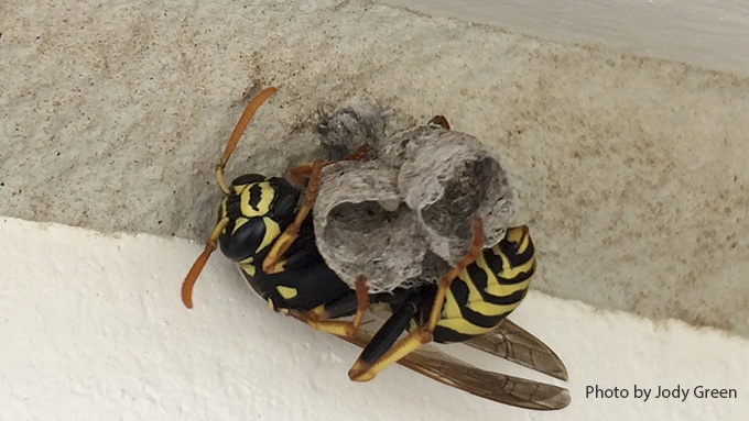 The European paper wasp resembles the yellow jacket, but has yellow antennae. Photo by Jody Green