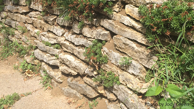 Retaining Wall habitat for Cicada Killer Wasp