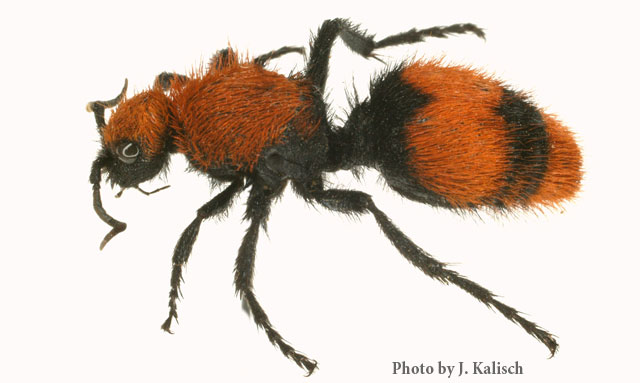 Velvet Ant - Photo by James Kalisch