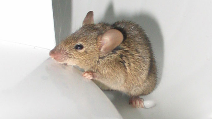 Resources on control rodents - rats and mice