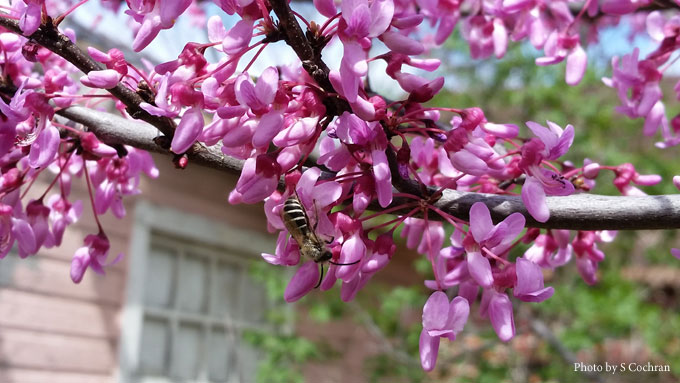 Redbud and Bee - Soni Cochran